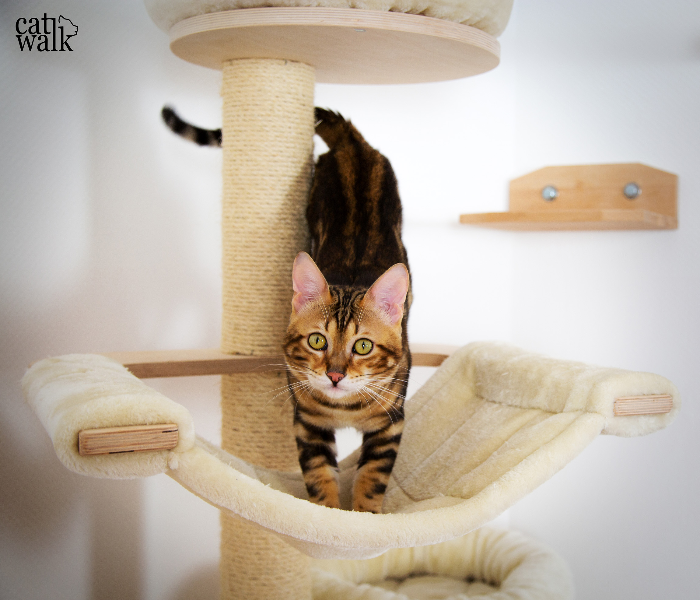 catwalk the begal cat on his cattree